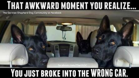 Awkward-moment-broke-in-wrong-car-3-large-shepherds-Funny-dog-photo-with-captions-445x250
